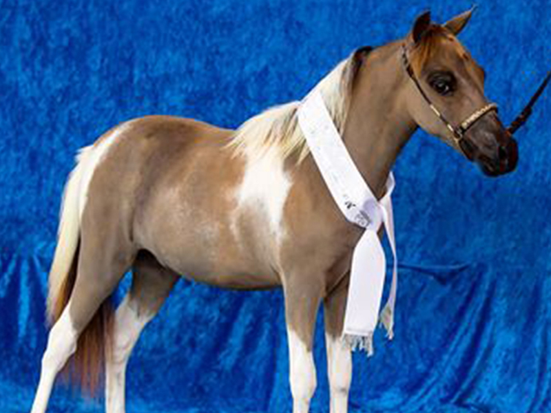 A miniature show horse which was slaughtered at Clayton Bay