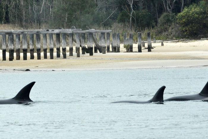 Sharks circle Fraser Island.