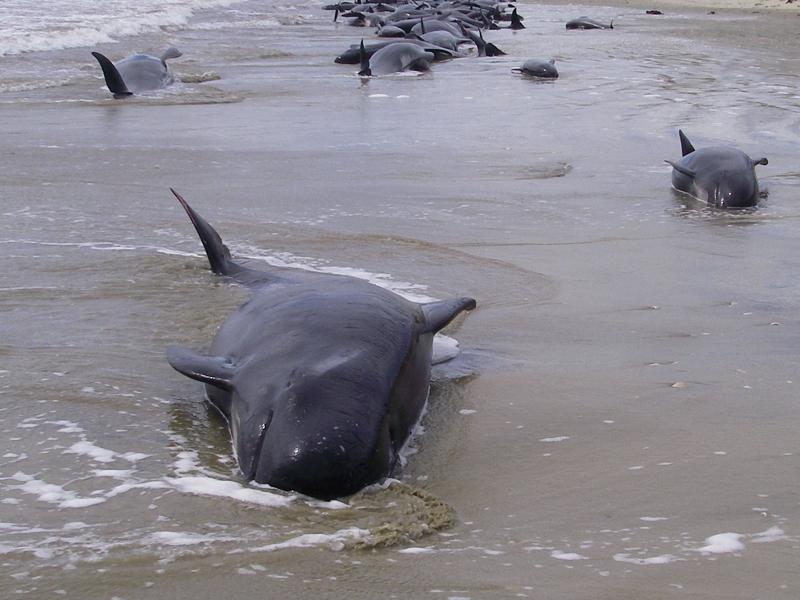 Fatal whale stranding in NZ