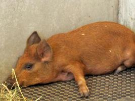 Ash, a young domestic dwarf pig