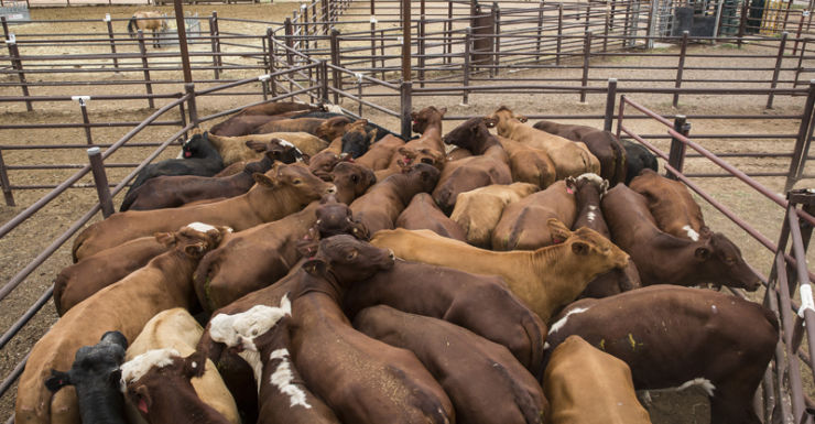 Cattle ready for export