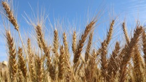 Victorian grain farmers are calling for more regulation for grain traders.