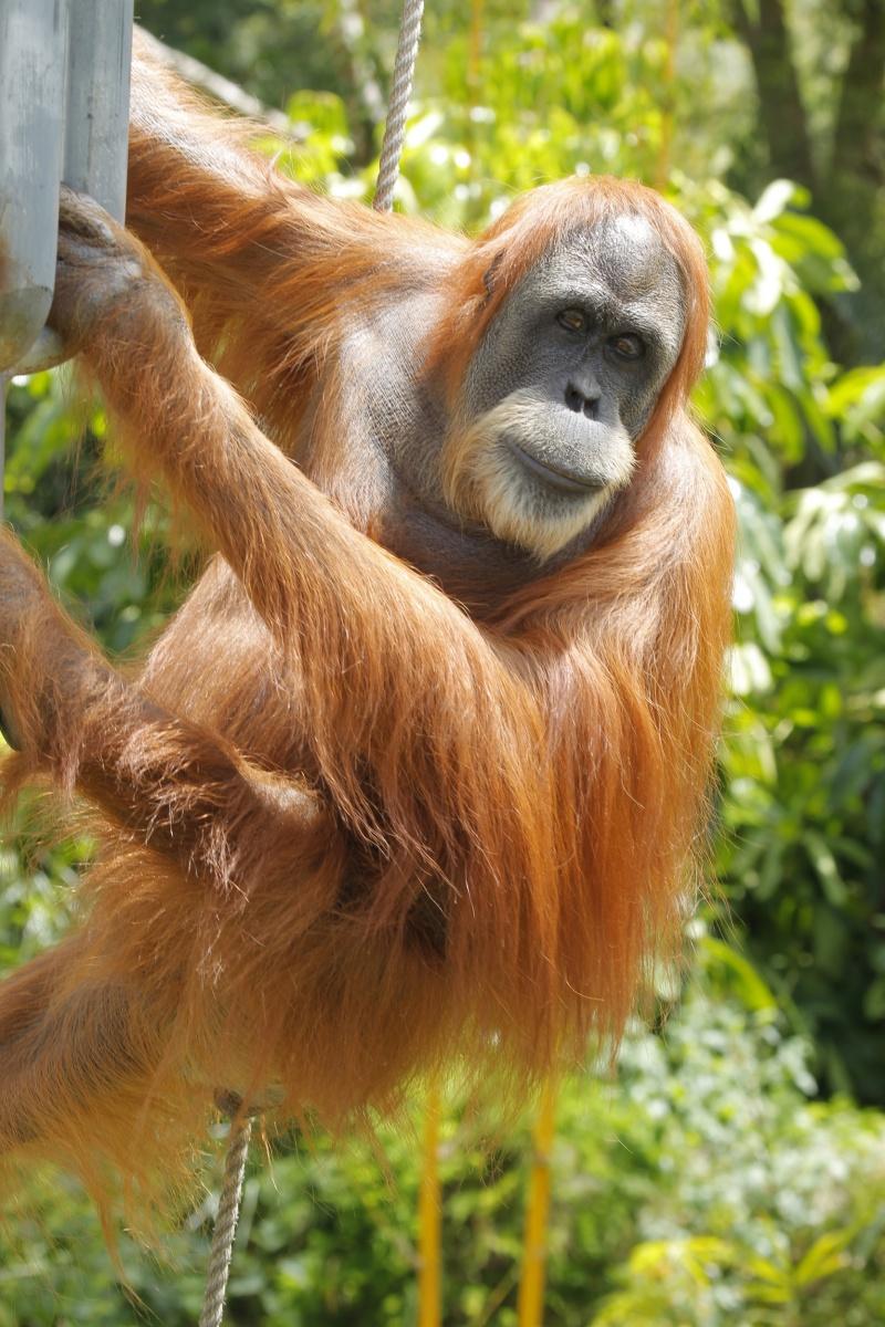 newdaily_190614_orangutan2