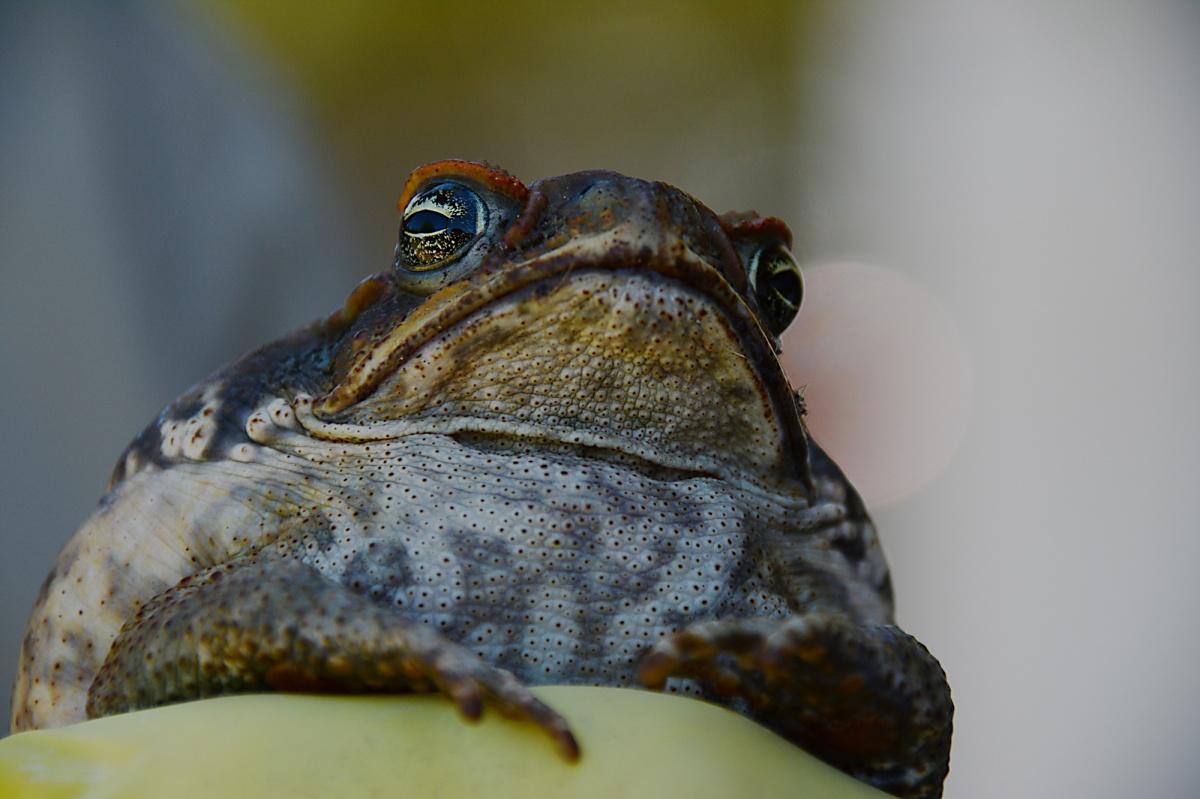 Pauline Hanson cane toad