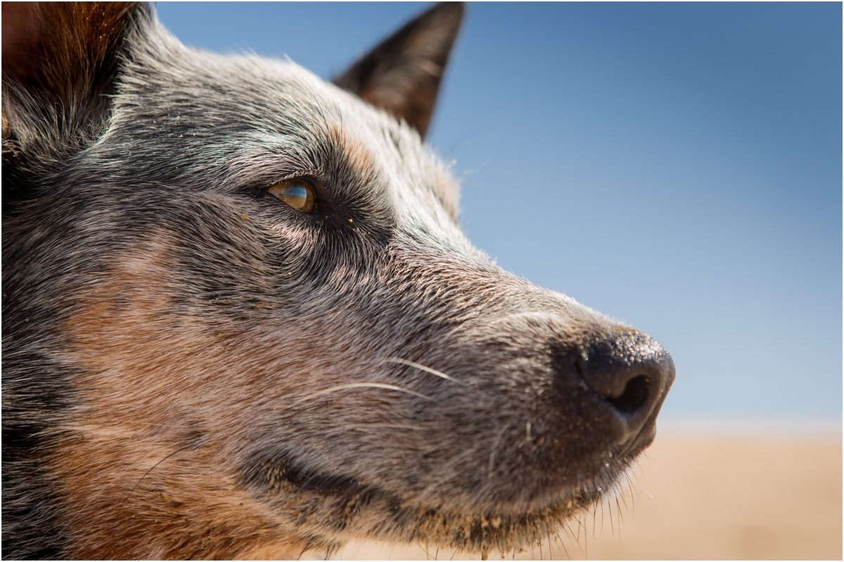Cattle dog image by Babydoll