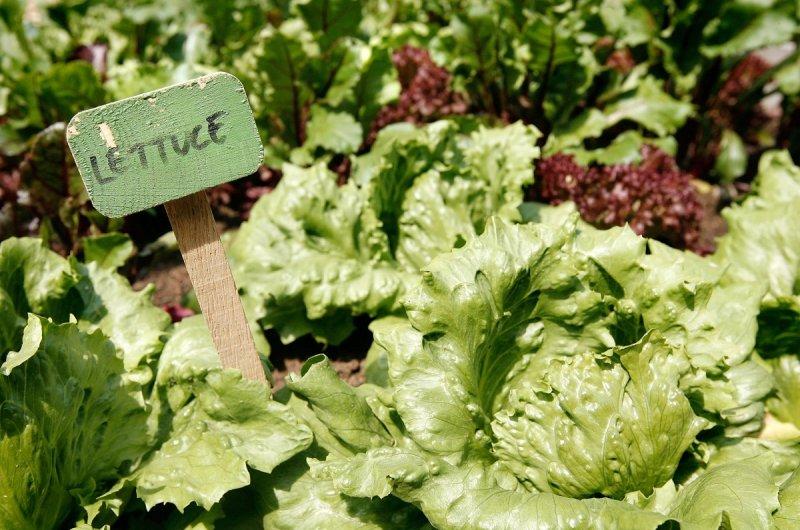 Lettuce is great for beginners. Getty.