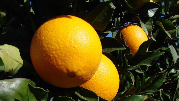 Navel oranges from a farm in Griffith will head to Tasmania soon under a new domestic trade protocol