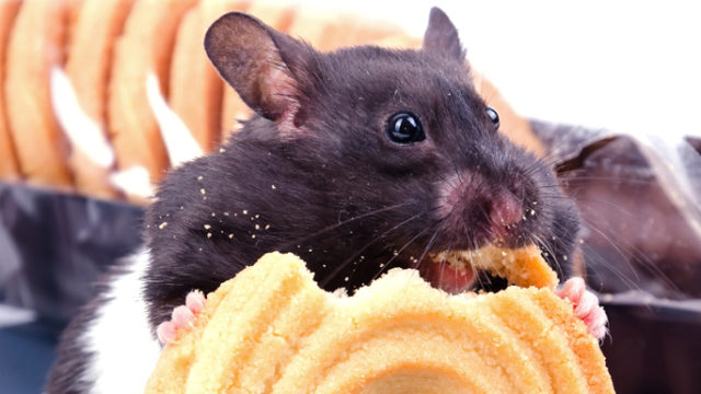 Mice on a high-fat diet, but bred with a missing gene, failed to gain weight.