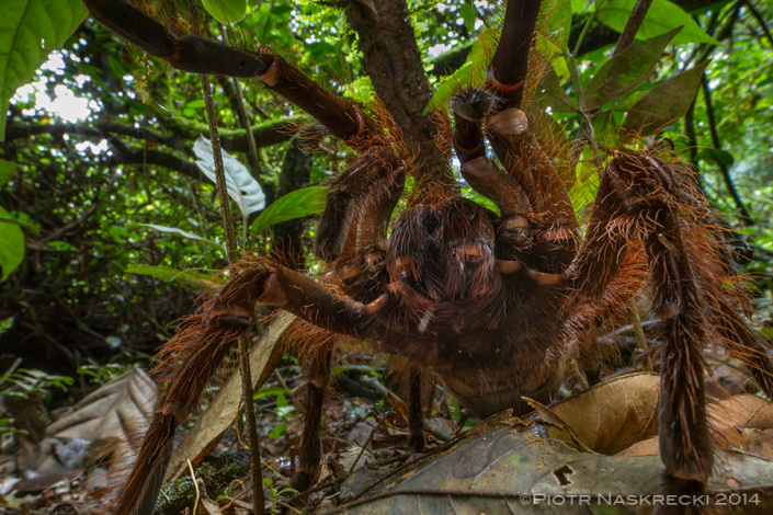 Goliath birdeater spider Piotr Naskrecki