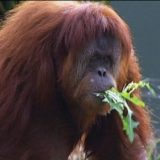 Pregnant orangutan despite being on contraceptives