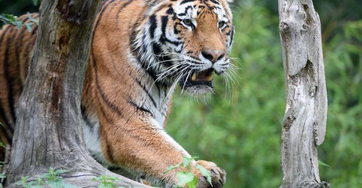 Tiger in Paris