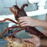 SA rock lobster trade