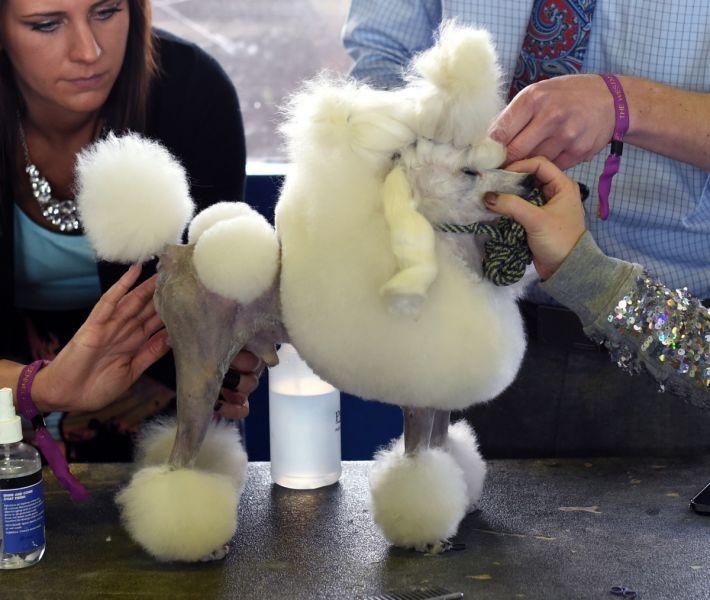 A Toy Poodle