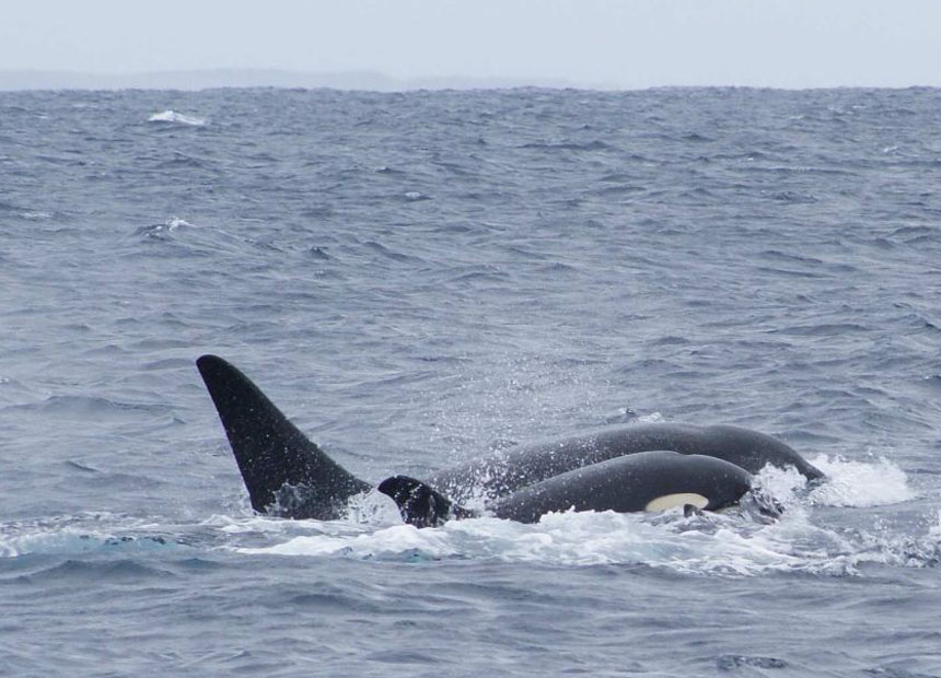Orcas Kill Great White Shark In Front Of Divers I The New Daily