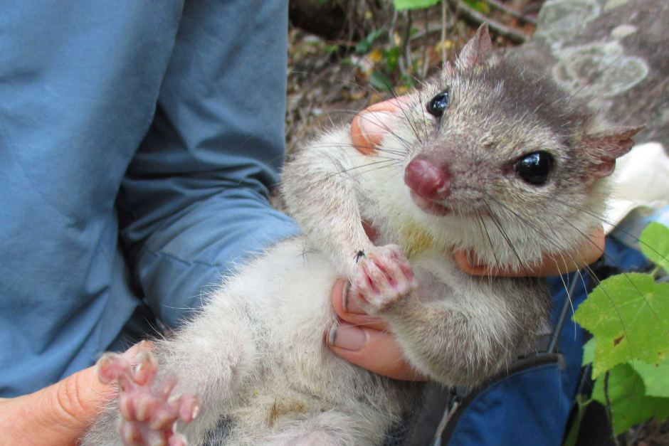 David Leyonhjelm says endangered quolls should be domesticated to save them from extinciton.