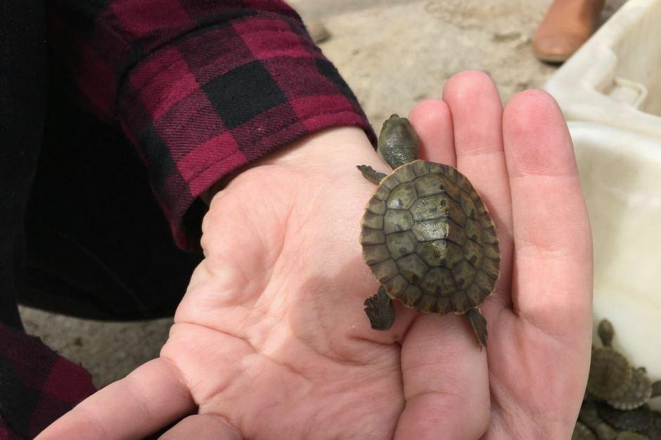 turtle hatchlings SA