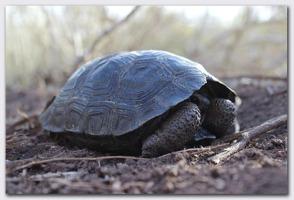 One of the saddleback tortoise hatchlings. Photo: Galápogas Conservatory.