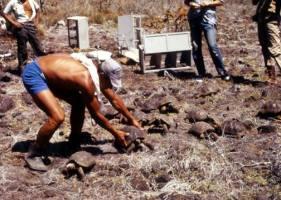 Repatriation of saddleback tortoises to Pinzón in 1971. Photo: Facebook Galapagos Conservancy.