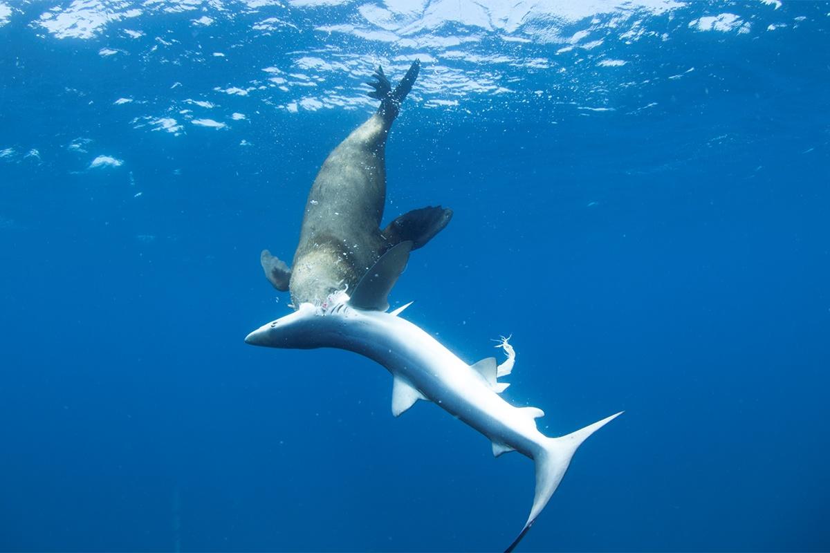 seal eating shark