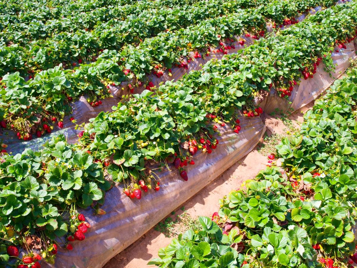 strawberry pesticide