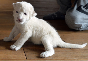 An white lion cub that was abandoned. Photo: Getty Images.