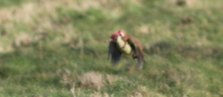 Woodpecker and weasel image