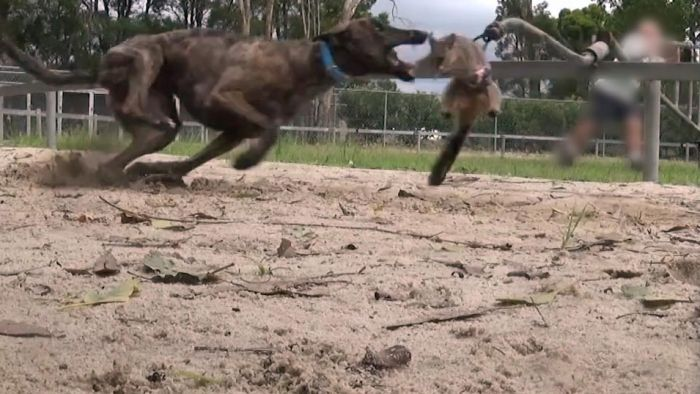 A live possum is used as bait as a part of a greyhound's race training regime in another state.