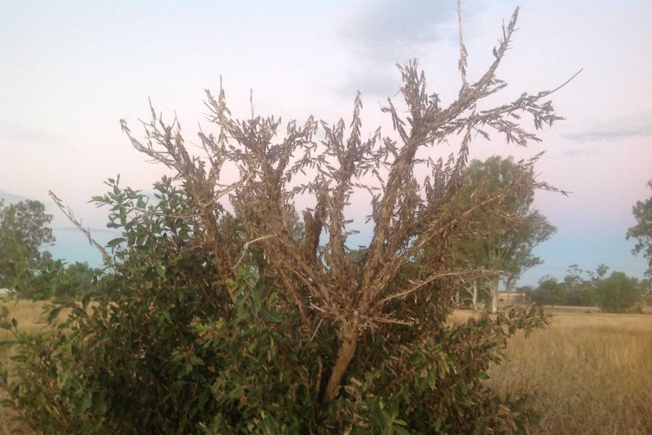 Swarms of locusts are devastating pastures in central Qld.
