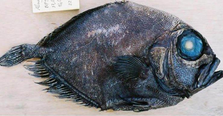 warty oreo fish
