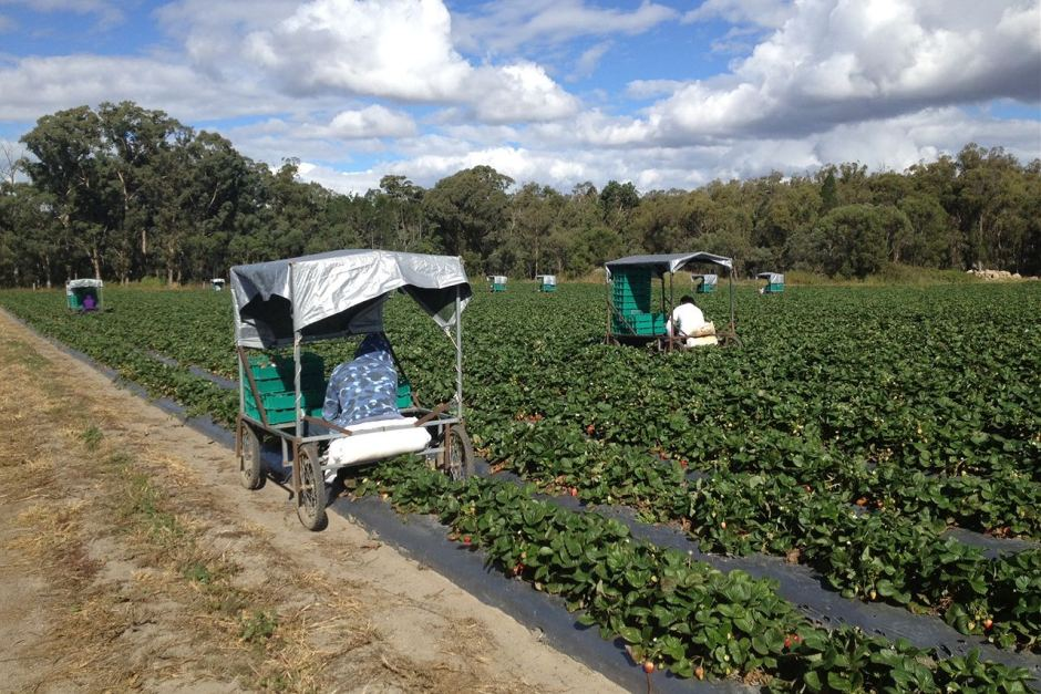 Many 417 working holiday visa holders are being underpaid and overworked on vegetable and fruit farms.