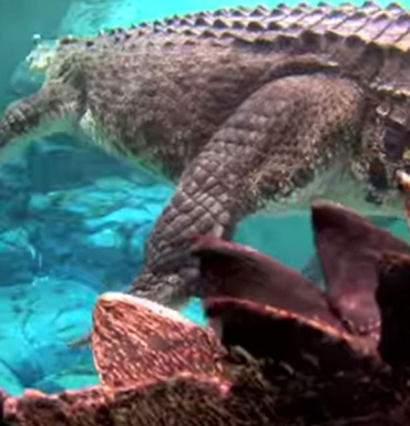Burt is now a star attraction at Crocosaurus Cove.