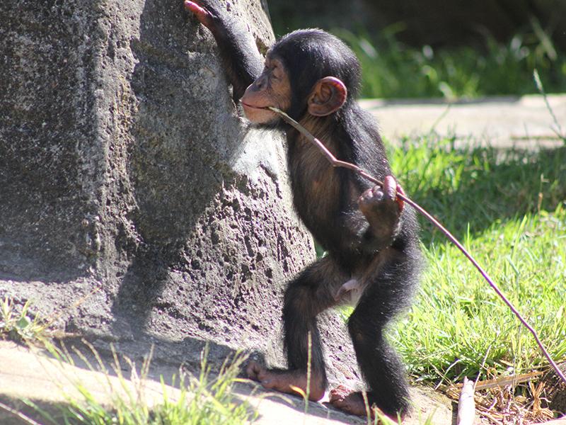 AAP. Fumo, 14-month-old chimp chimpanzee Taronga Zoo