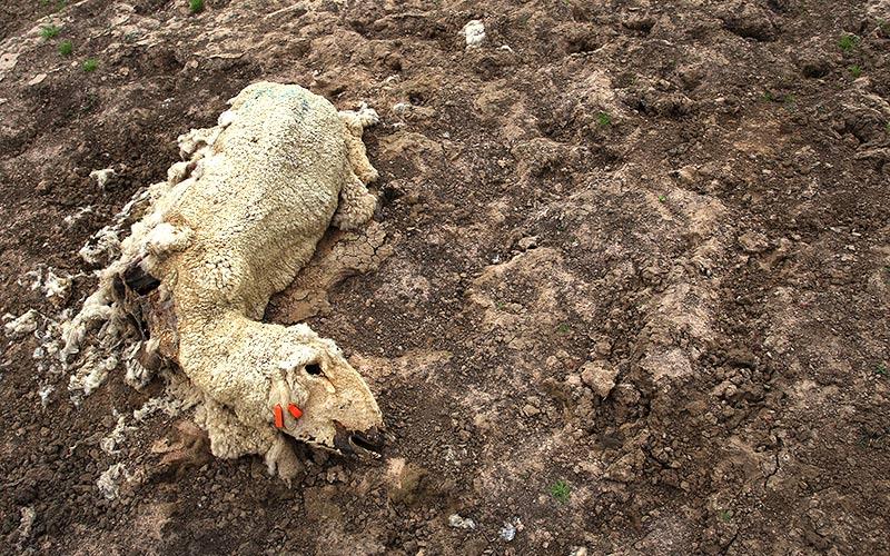 dead-sheep