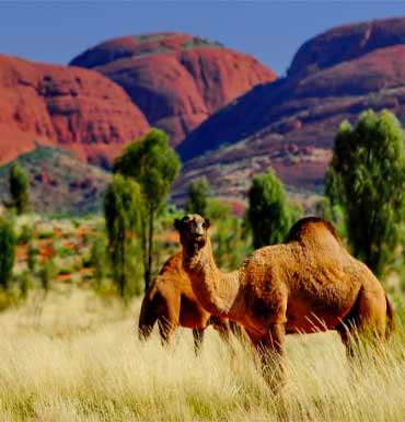 Camel-aus-7615-newdaily