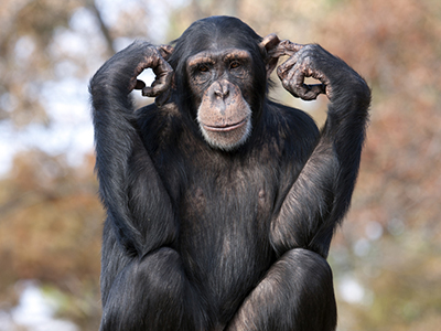 chimp-300615-newdaily