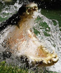 crocodile-getty