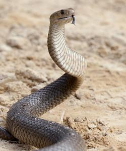 snake-getty