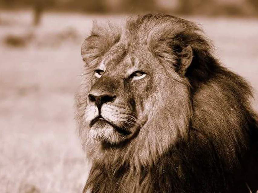 Cecil the Lion was shot dead outside a Zimbabwean national park in early July. Photo: African Bush Camps