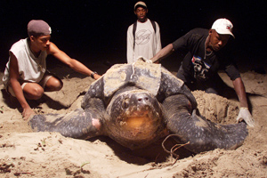 Getty leatherback turtle