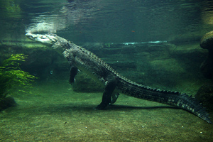 Getty saltwater crocodile