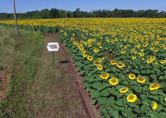 Sunflowers_2