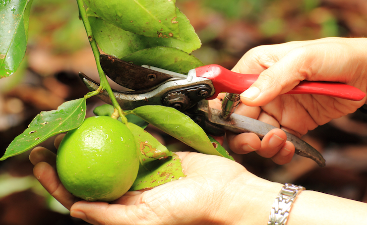Use scissors to cut the fruit off with a section of branch to avoid