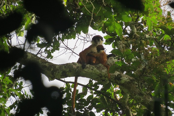 The thought extinct Red Colobus Monkey, spotted in the Congo. Photo: Lieven Devreese/Christian Science Monitor