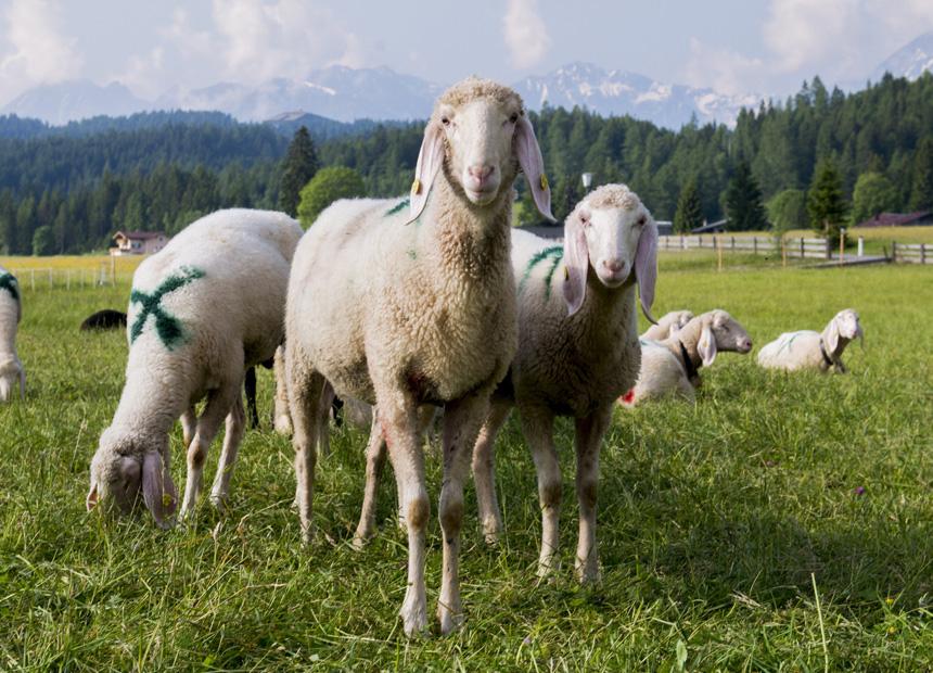 getty sheep mafia boss