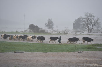 A farmer moves his cattle out of flood waters on Jamberoo Road down stream from Jerrara Dam west of Kiama. Photo: AAP