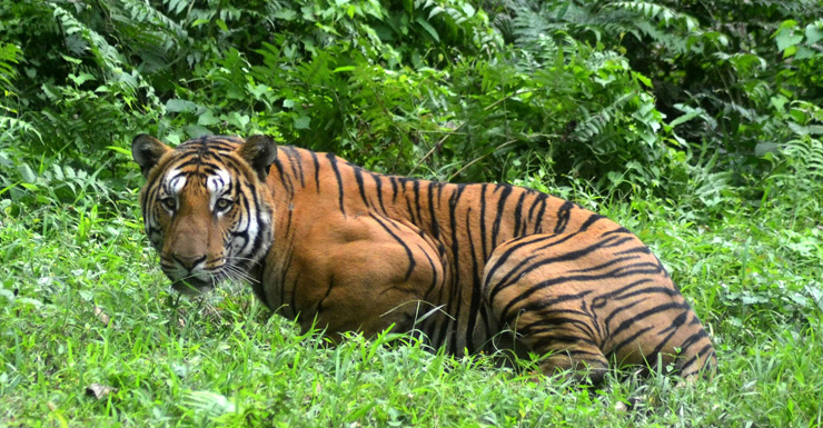royal bengal tiger getty