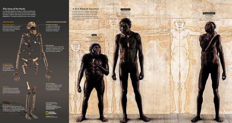 """A composite skeleton of H. naledi's overall body plan and an illustration of how it compares to Homo species such as H. erectus and australopithecines such as Lucy. The find was announced by the Universityof the Witwatersrand, the National Geographic Society and the South African National Research Foundation and published in the journal eLife. Skeleton: Stefan Fichtel/National Geographic Body Comparison Painting: John Gurche; Sources: Lee Berger and Peter Schmid, Wits; John Hawks, University of Wisconsin-Madison PERMITTED USE:These images may be downloaded or are otherwise provided at no charge for one-time use for media/news coverage or promotion of the National Geographic Society'sH. nalediannouncement and exclusively in conjunction thereof. Copying, distribution, archiving, sublicensingsale, or resale of the images are prohibited. DEFAULT:Failure to comply with the prohibitions and requirements set forth above will obligate the individual or entity receiving these images to pay a fee determined by the National Geographic Society. Mandatory usage requirements for National Geographic magazine photos 1-10: Please note: Amaximum of5images total may be usedonline A maximum of5 images total may be usedon air A maximum of3 images total may be used inprint ONLINE: 1. Include mandatory photo credit with each image 2. Must show the October cover of National Geographic magazine somewhere in the piece if using two (2) or more images 3. Provide a prominent link tohttp://natgeo.org/naledi 4. Mention that the images are from """"the October issue of National Geographic magazine"""" BROADCAST: 1. Include mandatory photo credit with each image 2. Show the October cover of National Geographic magazine at some point during the segment 3. Provide a verbal mention of """"the October issue of National Geographic magazine"""" PRINT:1. Include mandatory photo credit with each image2. Must show the October cover of National Geographic mag"""
