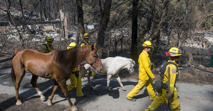 Lake County Animal Care lead a pony and quarter horse found roaming in charred remains in California.