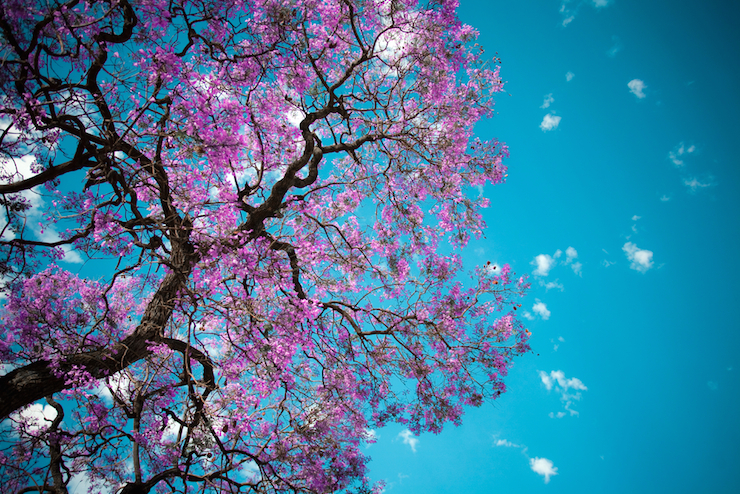 Jacarandas can provide some much-needed shade in warmer weather. Photo: Shutterstock