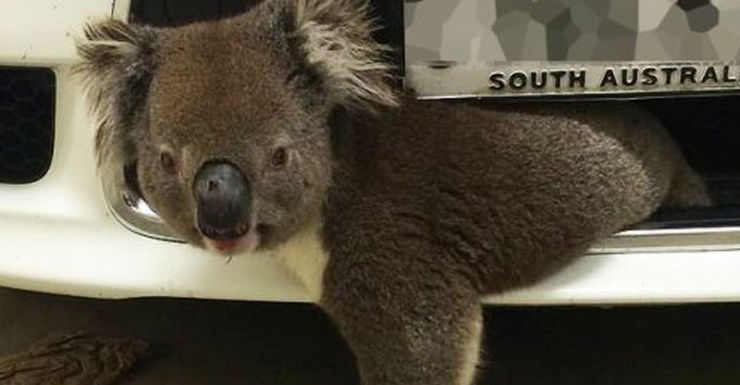 Koala wedged in car front